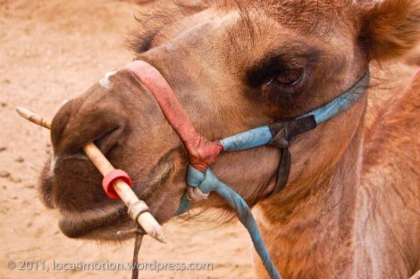 Gorkhi Terelj National Park Mongolia Camel 2