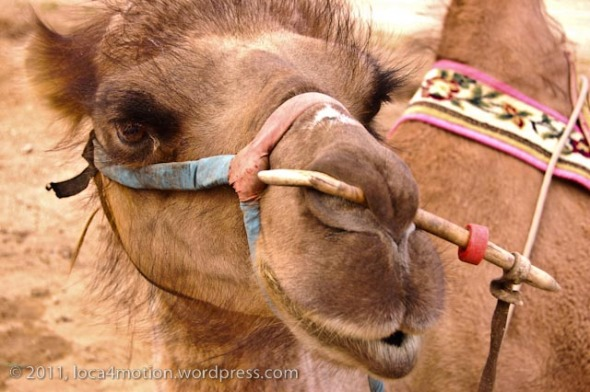 Gorkhi Terelj National Park Mongolia Camel 4