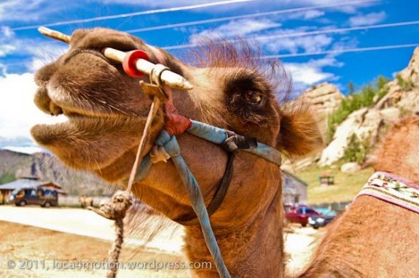 Gorkhi Terelj National Park Mongolia Camel 6