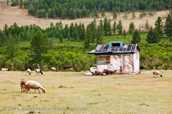 sheep old hut landscape