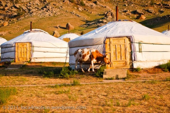 Terelj Lodge Tourist Ger Camp Gorkhi-Terelj National Park Mongolia Close up Gers Exterior And Cow