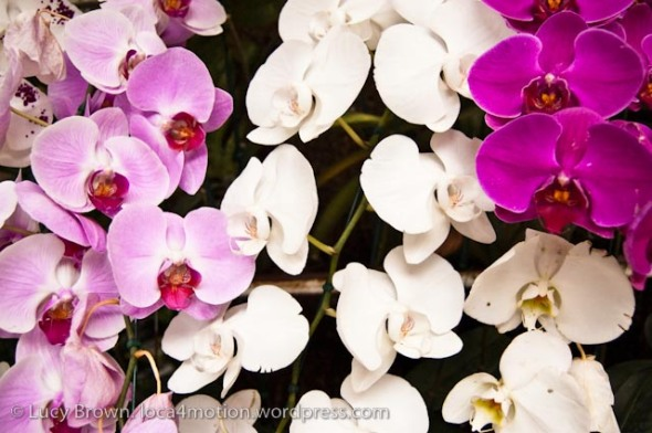 Orchids, Chiang Mai, Thailand
