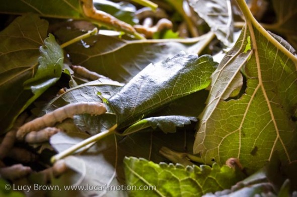 Close-up of Thai silk worms eating mulberry leaves, Chiang Mai, Thailand